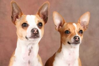 Taco Terrier Portraits