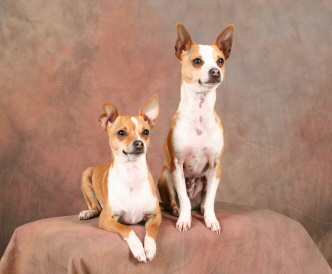 taco terrier portraits chihuahua toy fox terrier