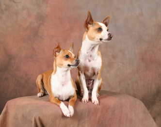 Chihuahua Toy Fox Terrier Taco Terrier | Dog Breeds Picture